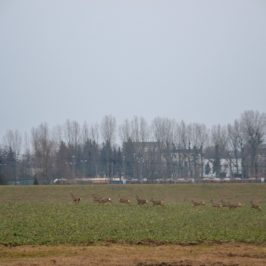 Camino Polaco. Odcinek 8 : Toruń – Cierpice ( 18 km)